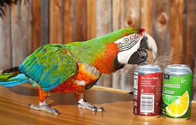 Performing parrot opening a can of soda with its beak