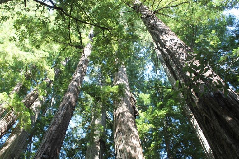 Looking up at redwood trees